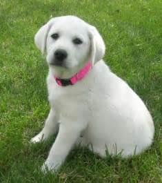 Small Lab Labrador Retriever Puppies Training The Dog Wallpaper