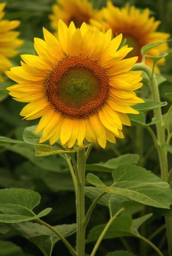 kansas sunflower keep your temper in check when dealing with bullying