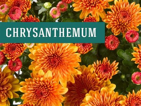 image gallery nasa chrysanthemum air 26 best indoor plants for your home