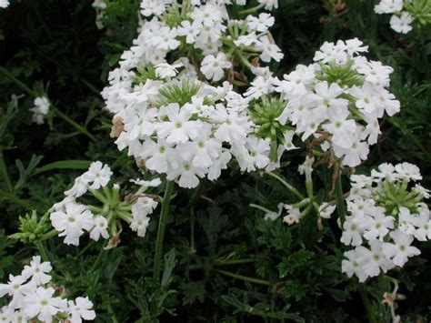 verbena shrub with white flowers verbena babylon white annual flower research at