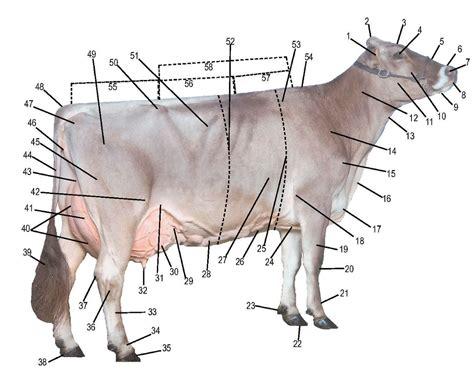 cow diagram dairy cow parts diagram cow birth diagram elsavadorla