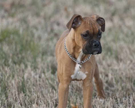 boxer puppies in michigan pin mini boxer puppies for sale in michigan on