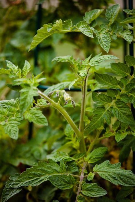 common houseplant problems the 10 most common tomato plant problems garden