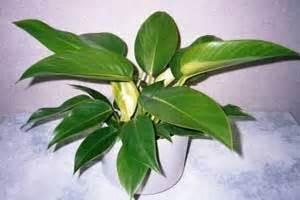 Philodendron Selloum Tanaman Philo philodendron indahnya bunga cinta tanaman hias dan