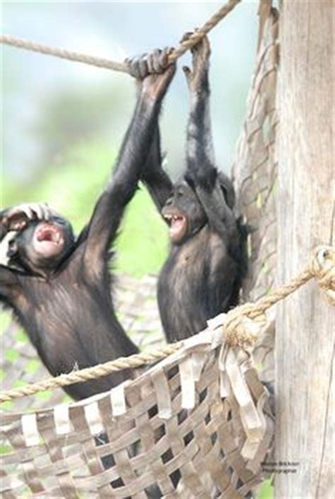 creature comforts jacksonville a mom is there to comforts us bonobos at the jacksonville