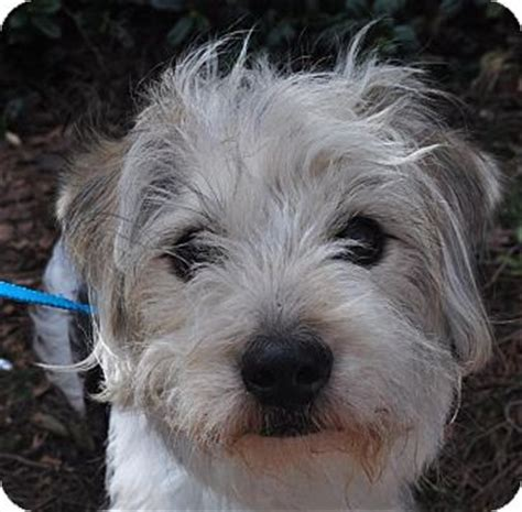 fox terrier and shih tzu mix cayman adopted atlanta ga wirehaired fox terrier shih tzu mix