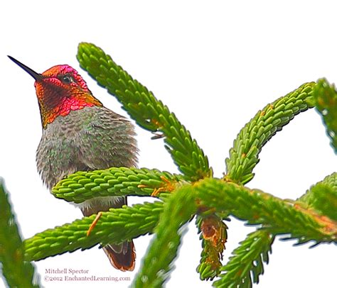 anna s hummingbird with red gorget enchantedlearning com