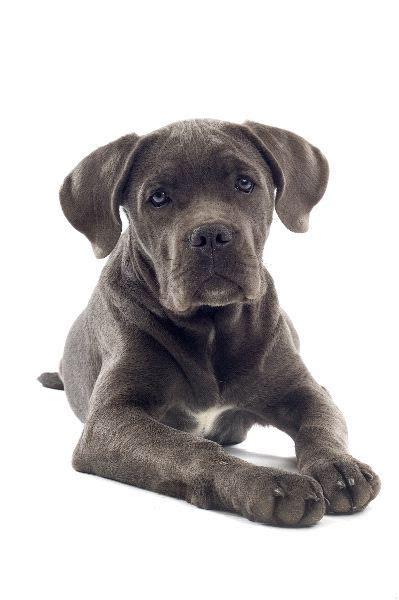 corso mastiff puppies 1000 ideas about mastiff mix on a dane mix and labrador retriever mix