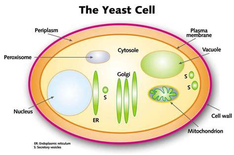 basic yeast morphology wine sign  india