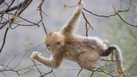 monkey golden bing wallpaper