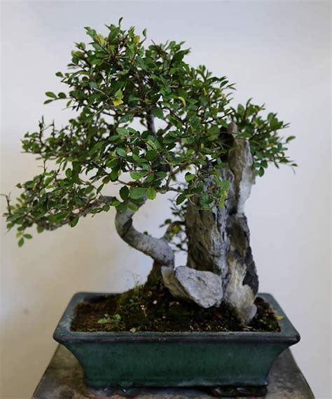Bonsai Trees Buy Online London Uk Bonsai Rock Garden