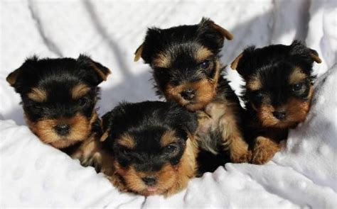 yorkie breeders in illinois yorkie puppies for sale in central illinois