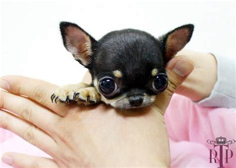baby chihuahua puppies best 25 teacup chihuahua ideas on teacup chihuahua puppies chihuahua