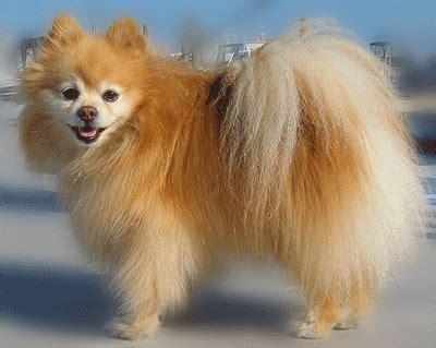 pomeranian type dogs breed pomeranian