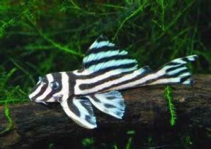 Makanan Ikan Hias Sapu Sapu 39 jenis ikan hias sapu sapu pleco populer alam ikan