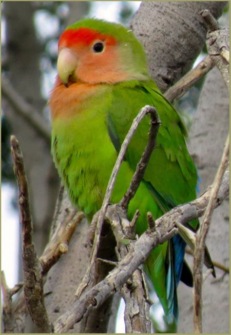 cascade ramblings critters lovebird rosy faced usery