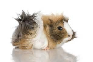 popular guinea pig breeds pets4homes