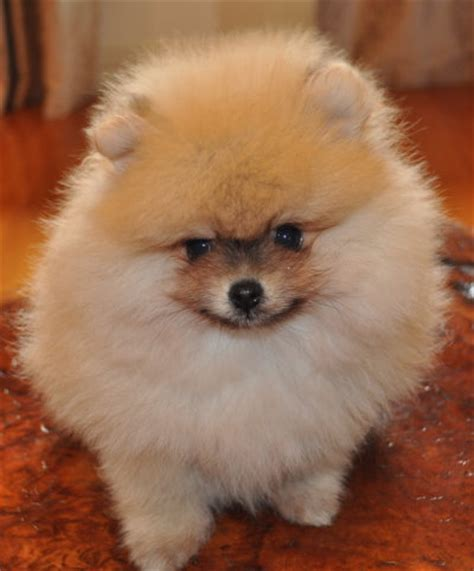 Feeding A Pomeranian Pomeranian Information And Facts
