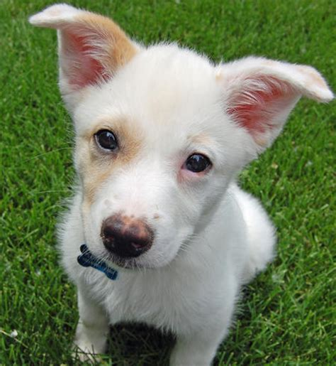 Non Shedding Cross Breed Dogs by Cross Breed Small Non Shedding Dogs Breeds Picture