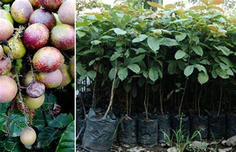 Jual Bibit Of Irian jual bibit tanaman buah matoa rambutan irian papua benmarth
