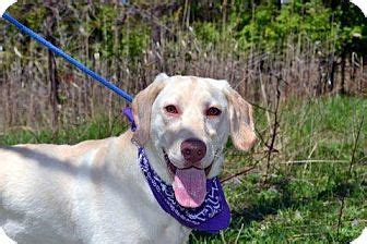 staten island puppy adoption staten island ny labrador retriever mix meet philly a for adoption places