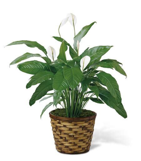 common house plants for funerals funeral plants