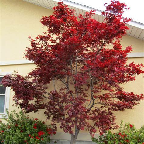 emperor  japanese maple trees  sale  garden