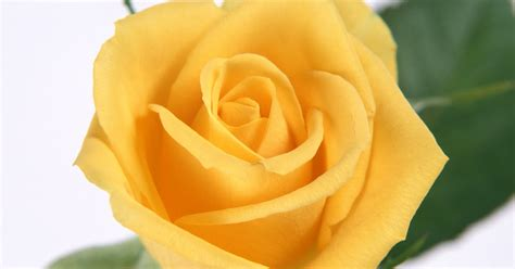 khoobsurat wallpaper flower book finish ek khoobsurat sa yellow rose maa aapke liye