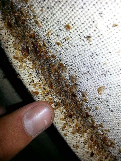bed bug on mattress carpet beetles vs bed bugs bed bug treatments removal