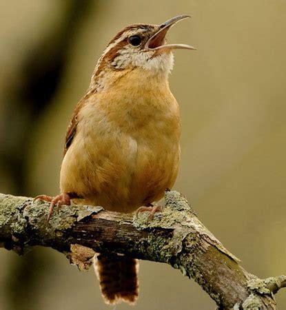 bird species carolina wren