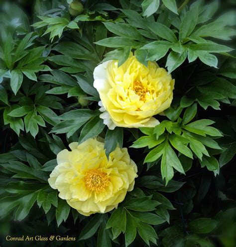 peonies season overview of herbaceous and intersectional peony season
