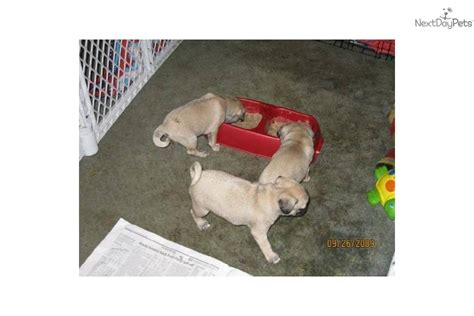 pugs for sale in nebraska meet a pug puppy for sale for 400 sale playful precious pugs in ne indiana