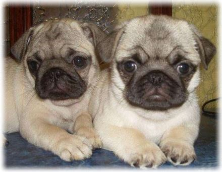 pug care information pug care information with photos health puppy food