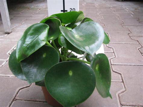 Home Interiors Catalog peperomia polybotrya quot raindrop quot florist s plantica