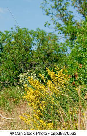 Buisson Fleur Jaune by Sauvage Buisson Fleurs Jaune Montagne Arbrisseau 233 T 233