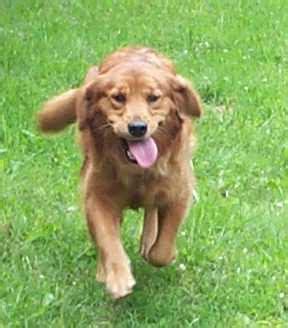 golden retriever puppies ni golden retriever puppies for sale