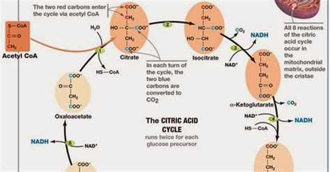section 9 2 the krebs cycle answers section 9 2 the krebs cycle answers 28 images chapter