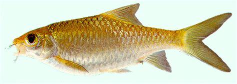 Pakan Ikan Sepat Hias seputar dunia perikanan gambar ikan sepat sia sebarau