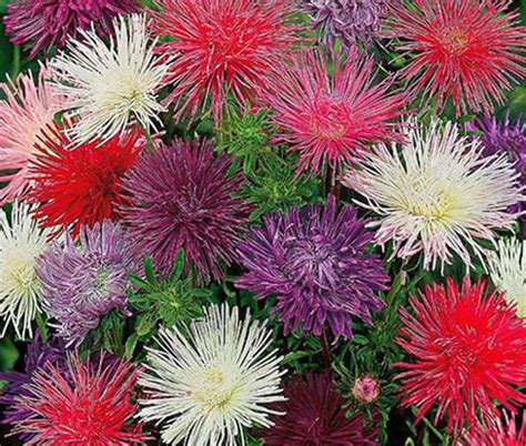 Bibit Bunga Aster Single Mixed China Flower Mix Colour aster needle unicum mix seeds callistephus chinensis
