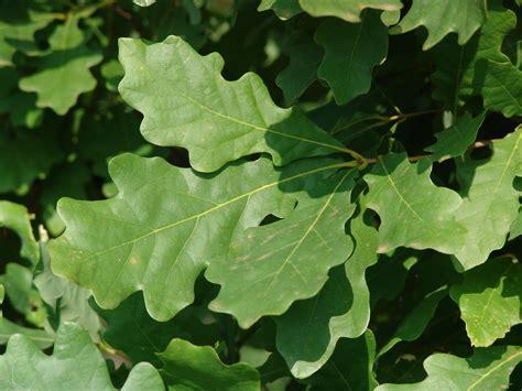 White Oak White Oak Leaf