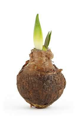 when is the best time to transplant spring bulbs lovetoknow
