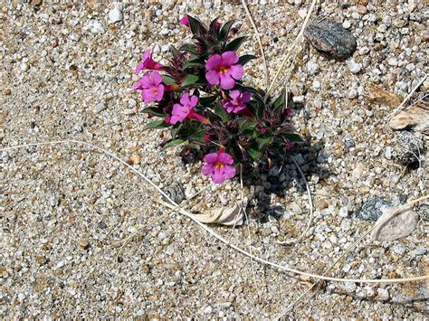 flowers anza borrego anza borrego anza borrego wildflowers and cactus blooms