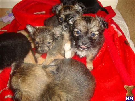 shih tzu puppies 8 weeks chihuahua x shih tzu puppies 8 weeks 32125