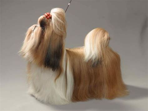 shih tzu back problems shih tzu diet problems 1001doggy