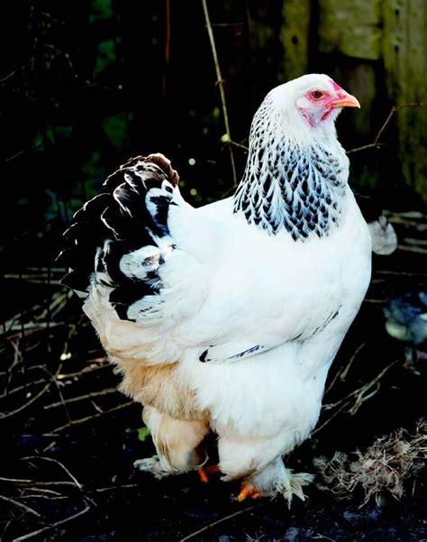 friendliest bantam chicken breeds best 25 bantam chickens ideas on frizzle chickens cochin chickens and fancy
