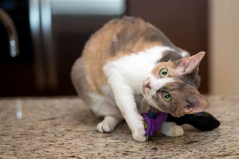 How To Make Cat Shed Less by How To Less Shedding And More Petmeds