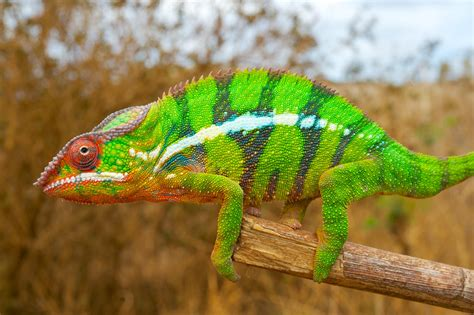 how chameleons change color it s nanocrystals in the skin