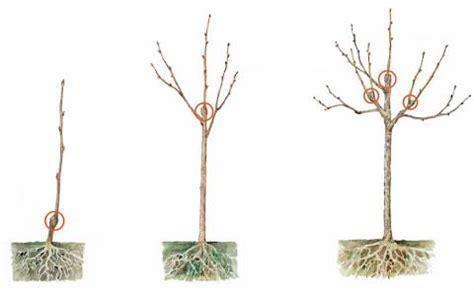 apfelbaum mehrere sorten obstb 228 ume die korrekte pflanztiefe mein sch 246 ner garten