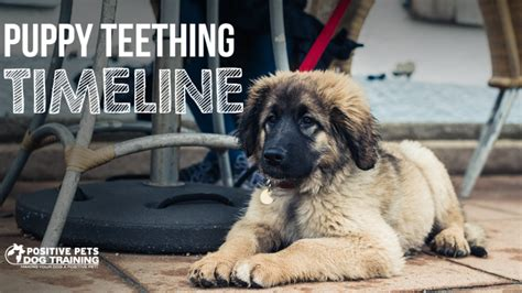 puppy timeline puppy teething timeline positive pets
