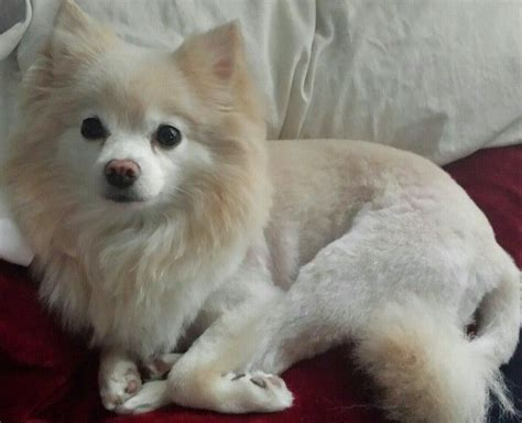 pomeranian haircuts pictures pomeranian haircut styles pictures newhairstylesformen2014